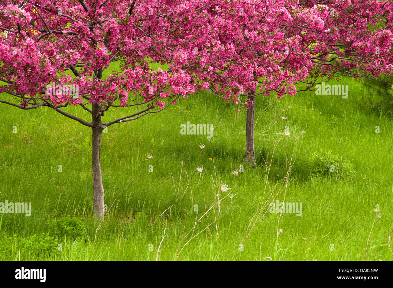 Flowering trees at the Frederik Meijer Gardens and Sculpture Park, Grand Rapids, Michigan, United States of America - Stock Image