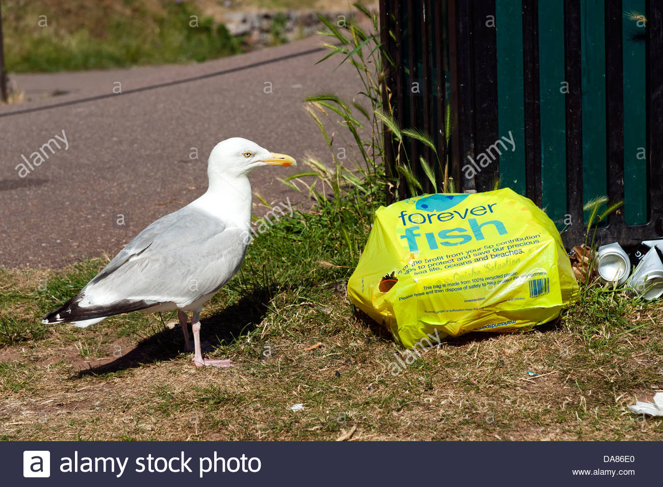 Seagull scavenging litter from a rubbish bag, UK. - Stock Image