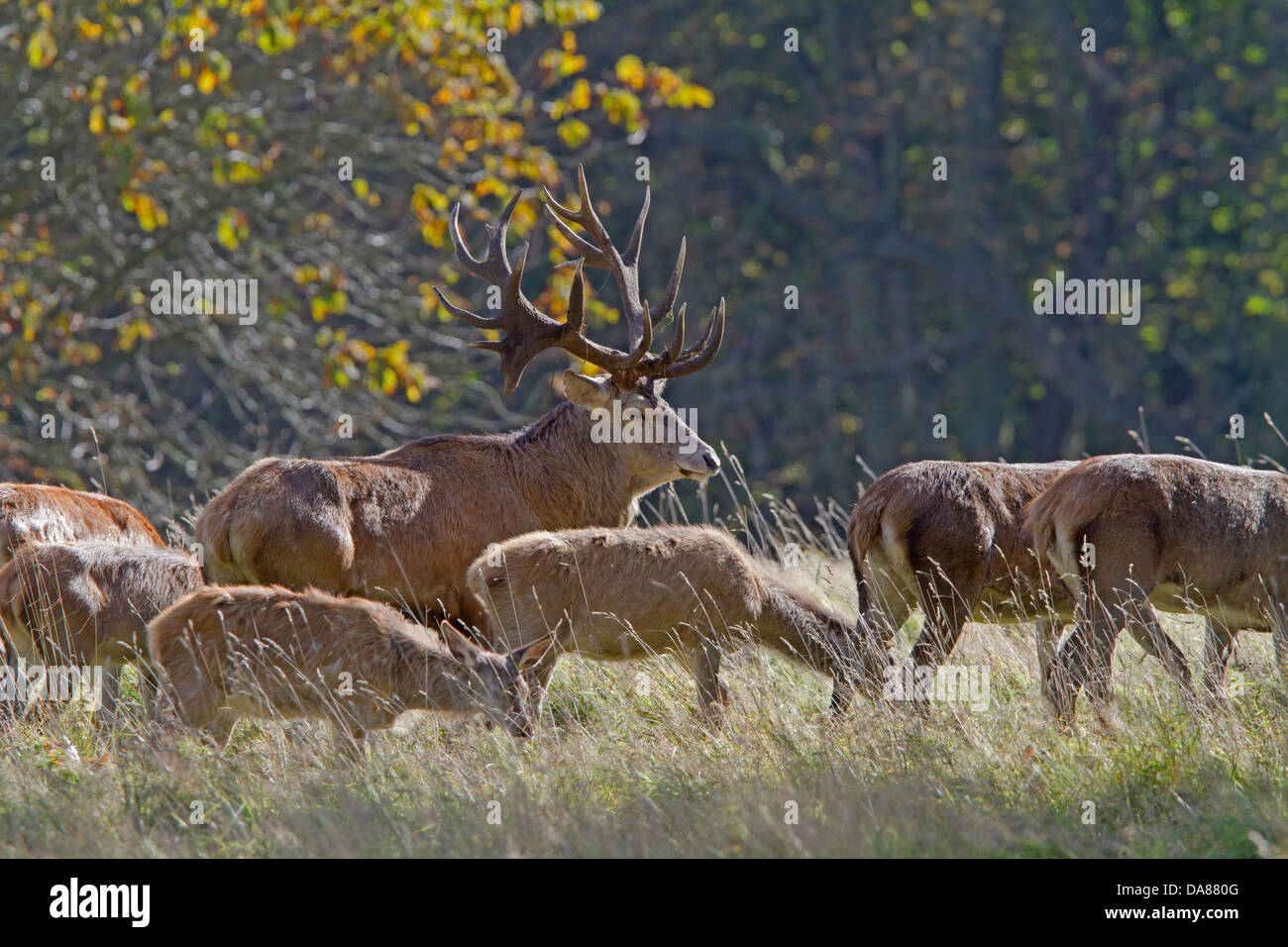 Red Deer (Cervus elaphus) Stock Photo