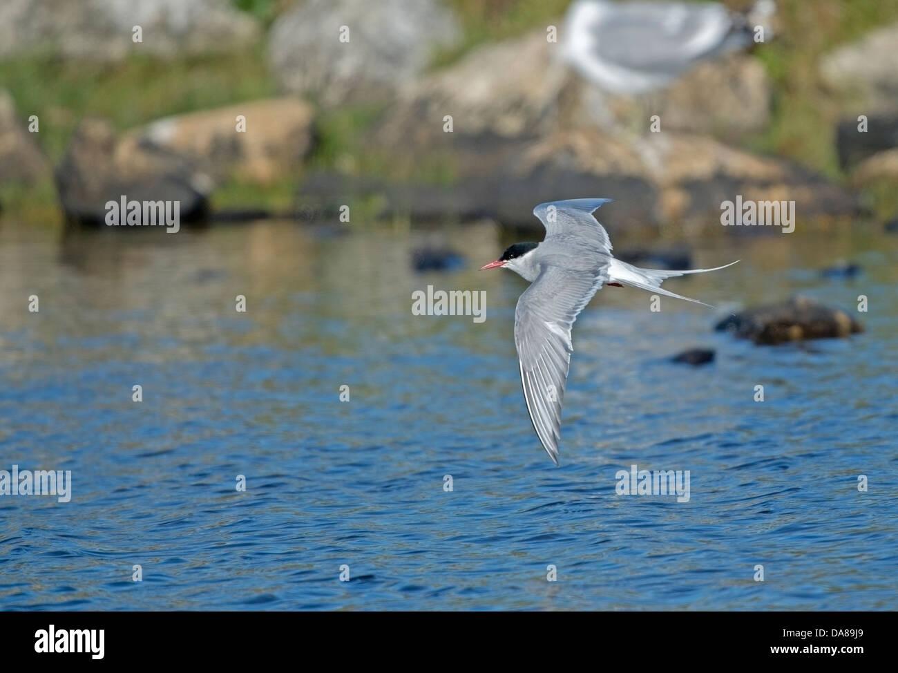 Sterna paradisaea, Artic Tern at RSPB Balranold - Stock Image
