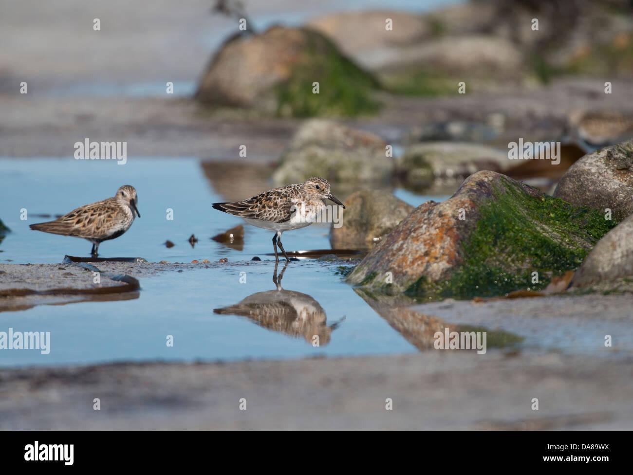 Calidris alba,Sanderling and Calidris alpina, Dunlin  in summer plumage, feeding on beach - Stock Image