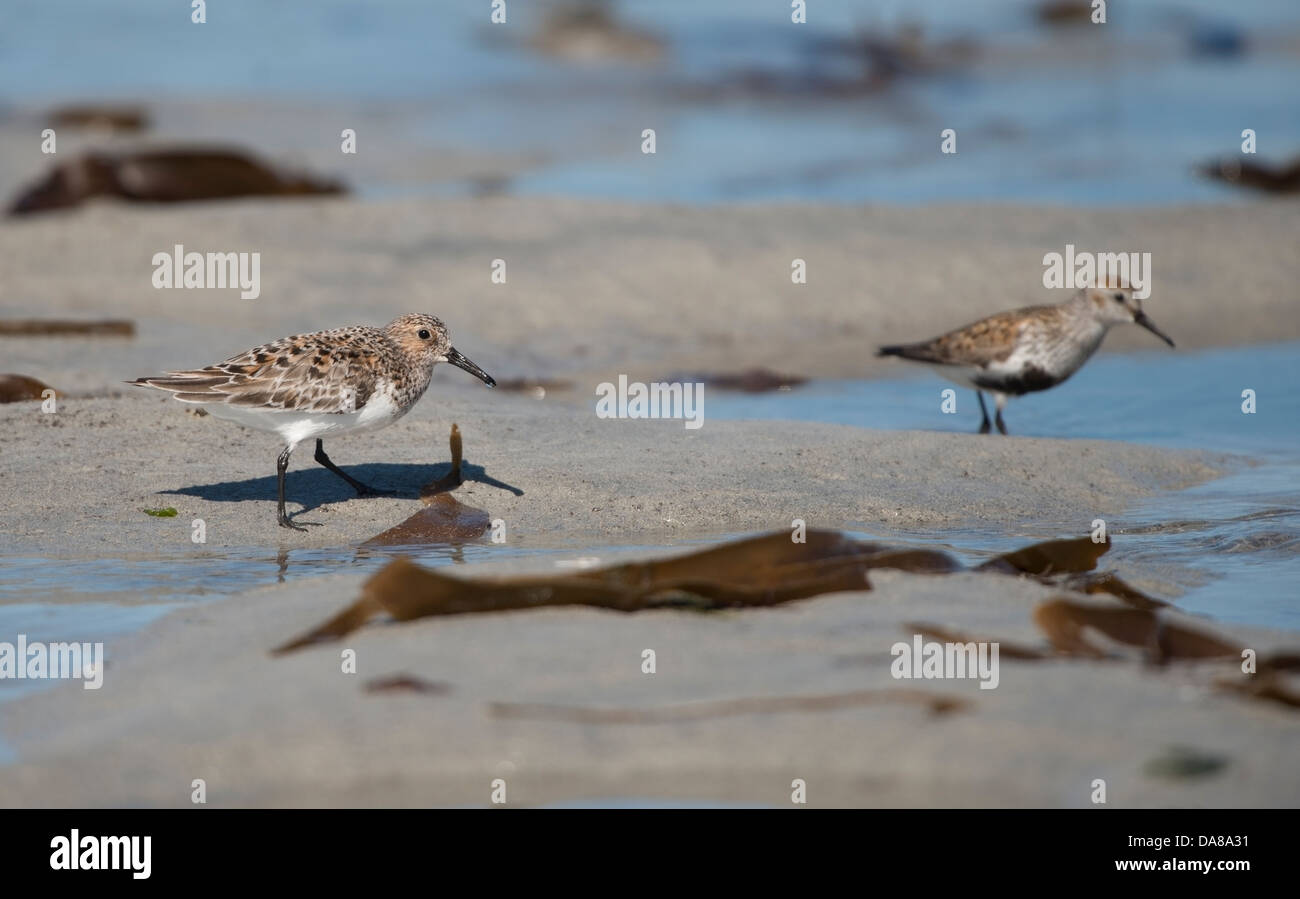 Calidris alba,Sanderling in summer plumage , foraging for food on the sandy beach with, Calidris alpina, Dunlin - Stock Image