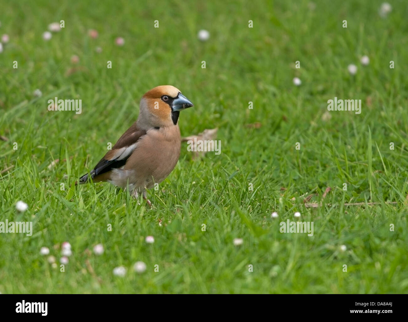 Hawfinch,  Coccothraustes coccothraustes, feeding on seeds which were dropped on the grass, during May - Stock Image
