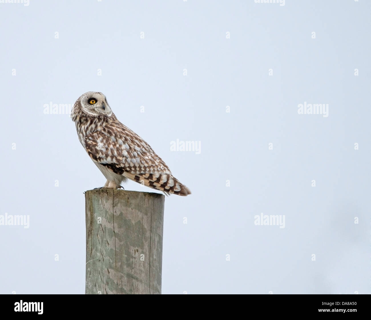 Asio flammeus, Short Eared  Owl on perched on post in North Uist early evening - Stock Image