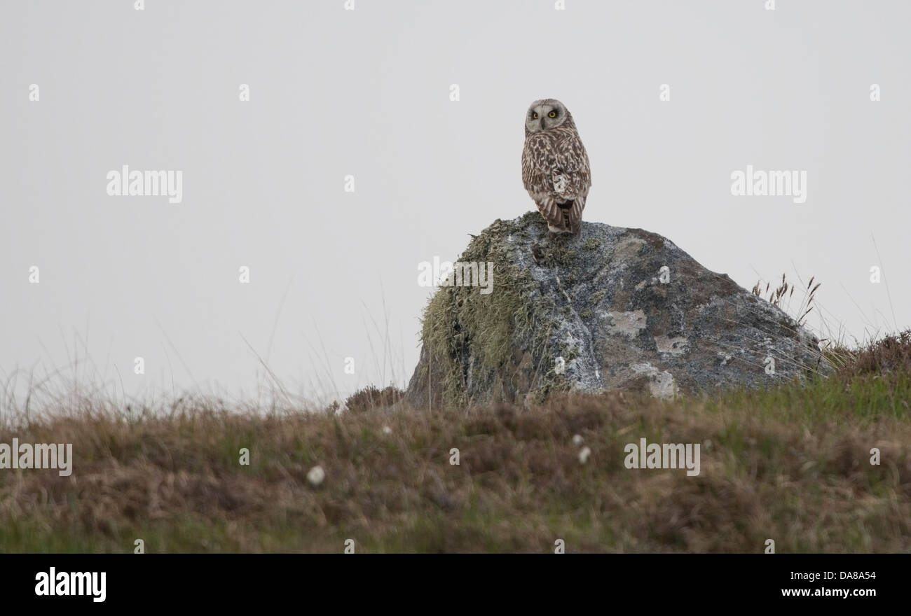 Asio flammeus, Short Eared Owl rests on a rock as day breaks on North Uist in June - Stock Image