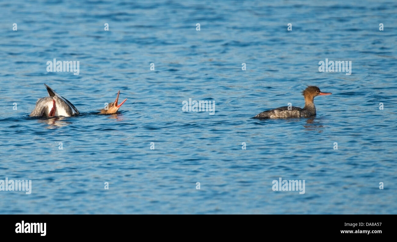 Mergus serrator, Red Breasted Mergansers Courting Display during month of June. - Stock Image