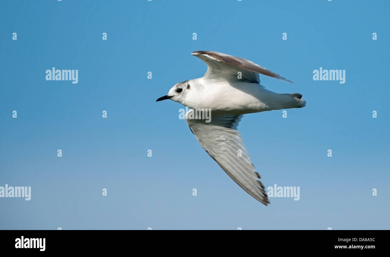 Larus ridibundus, Black Headed Gull in flight - Stock Image