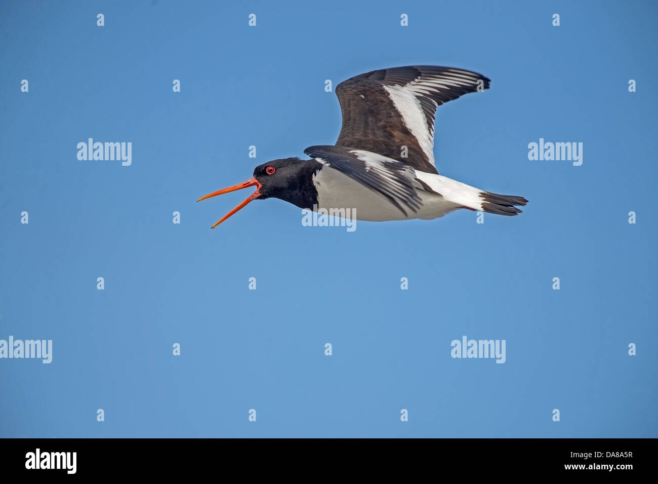 Haematopus ostralegus, Oyster Catcher in flight sounding warning alert as Gulls get to close to the nest site - Stock Image