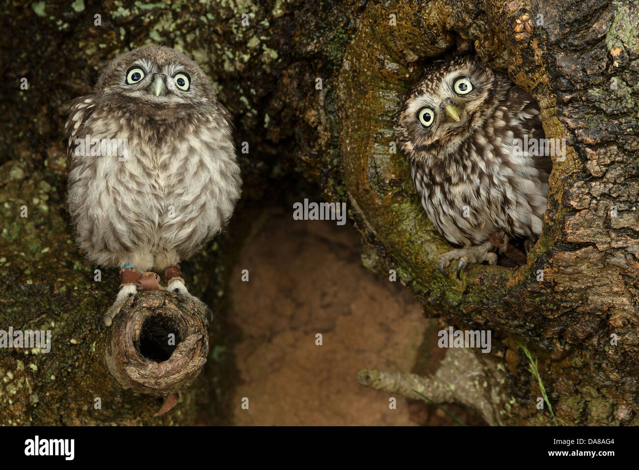 Pair of Little Owls (Athene Noctua) on tree trunk - Stock Image