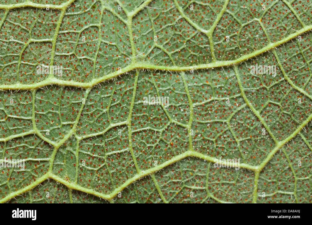 Glandular leaf underside high macro photograph showing vein structure - Stock Image