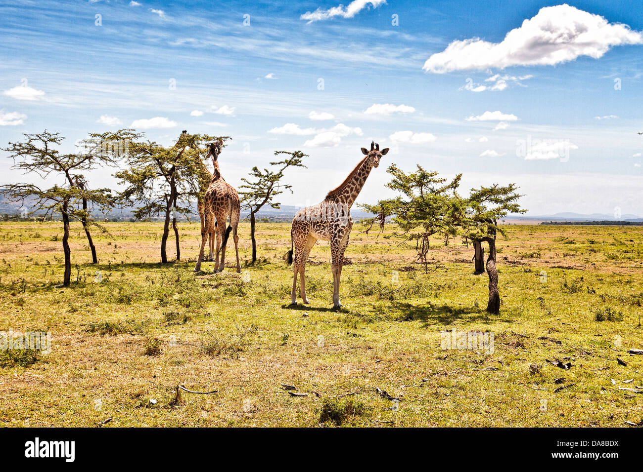 Giraffes Browsing from their favorite trees in the Masai Mara, Kenya - Stock Image