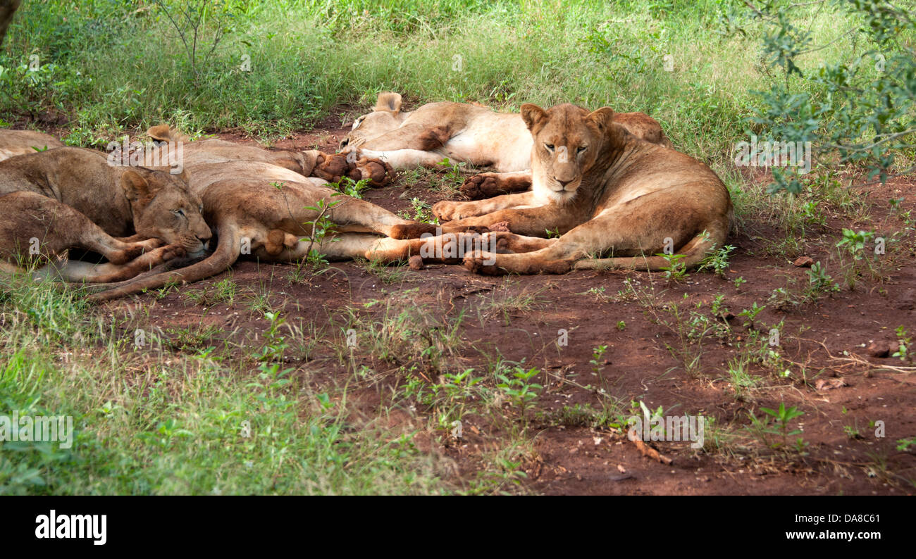Full stomachs! Thanda Game Reserve, KwaZulu-Natal. - Stock Image
