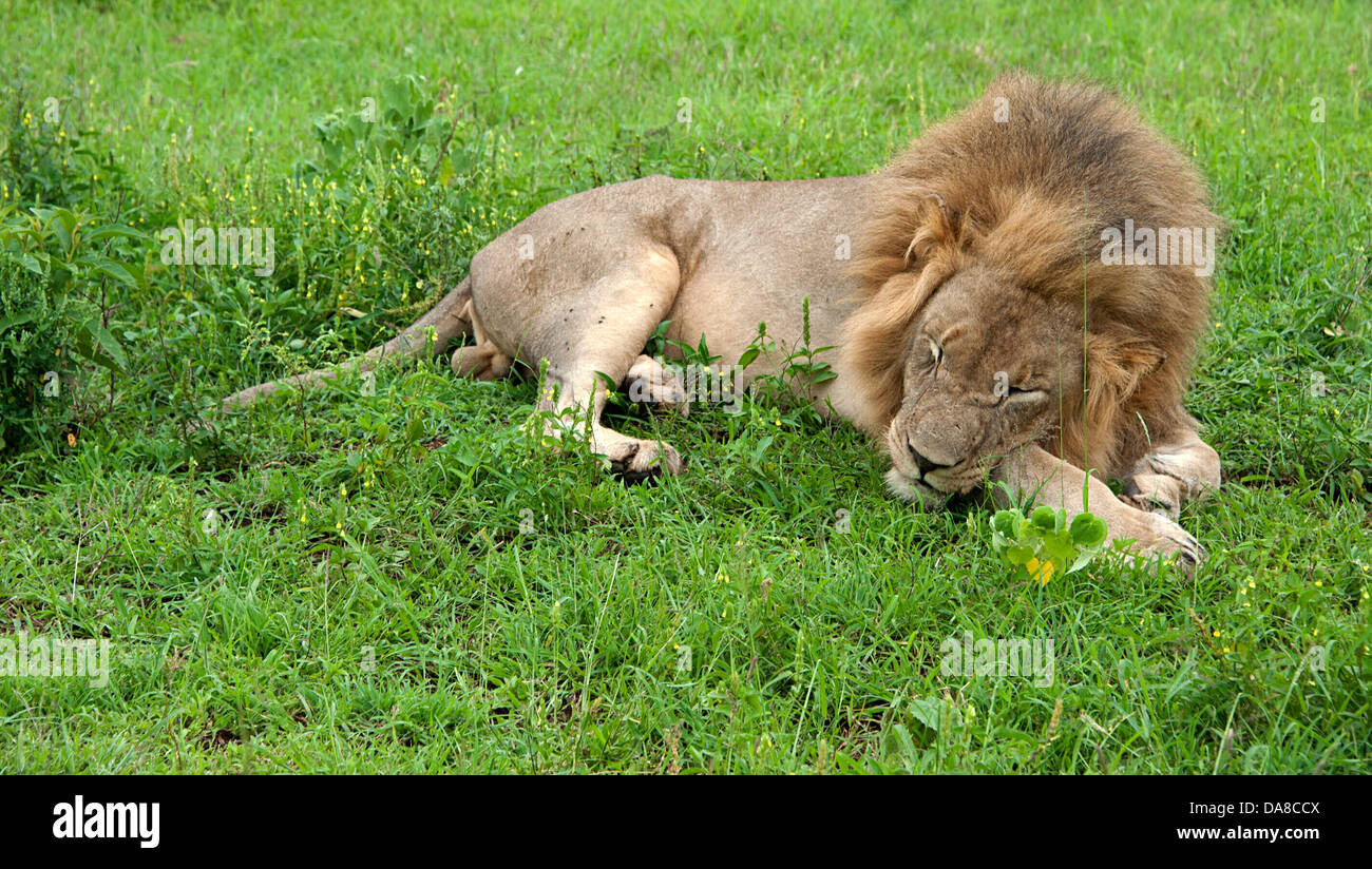Sleeping lion on green grass South Africa. - Stock Image