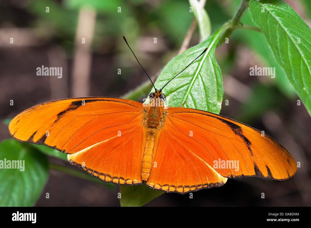 Julia Butterfly (Dryas iulia) aka: Julia Heliconian, The Flame, or Flambeau - Stock Image
