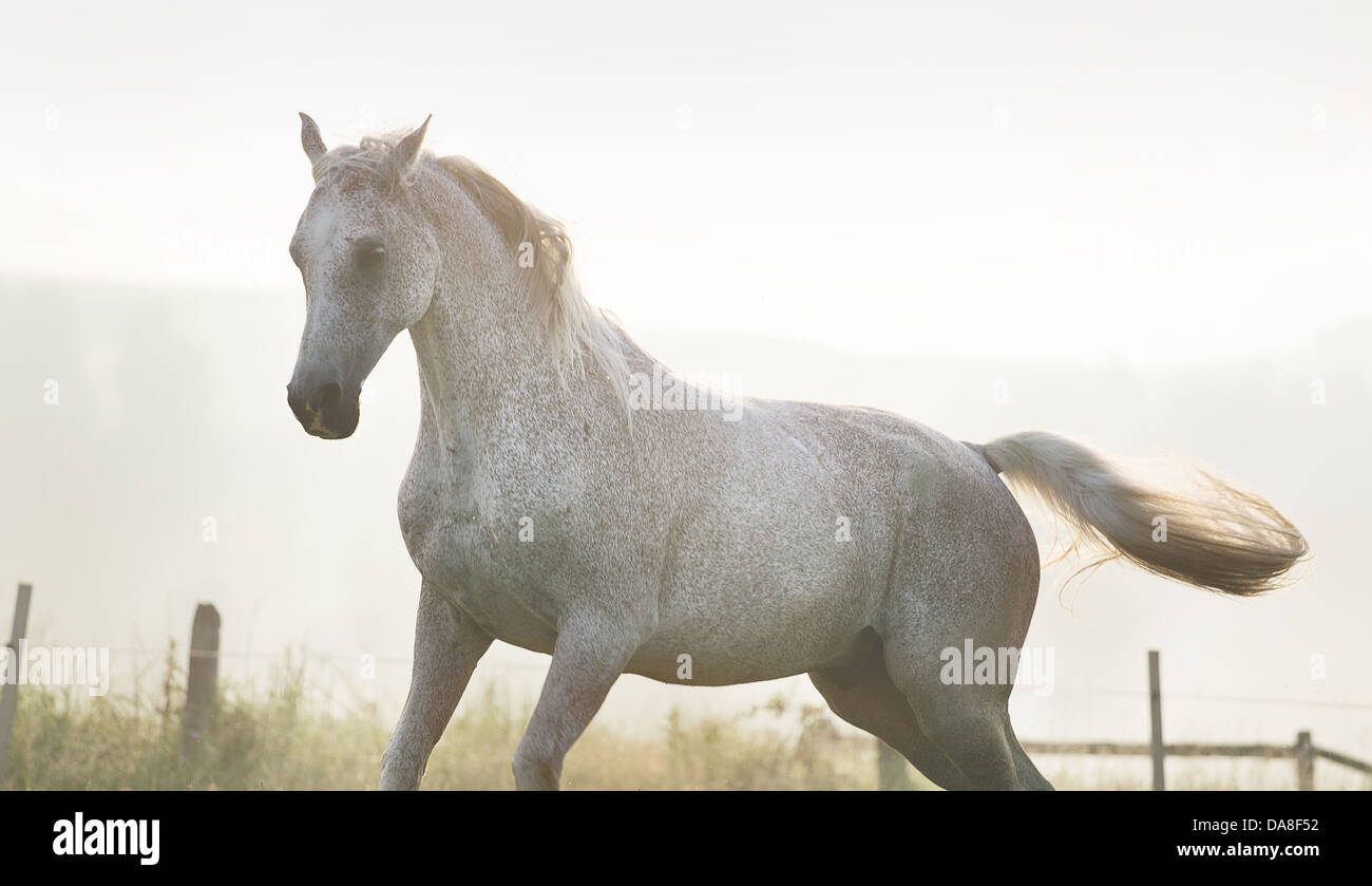 White, strong horse on true freedom - Stock Image