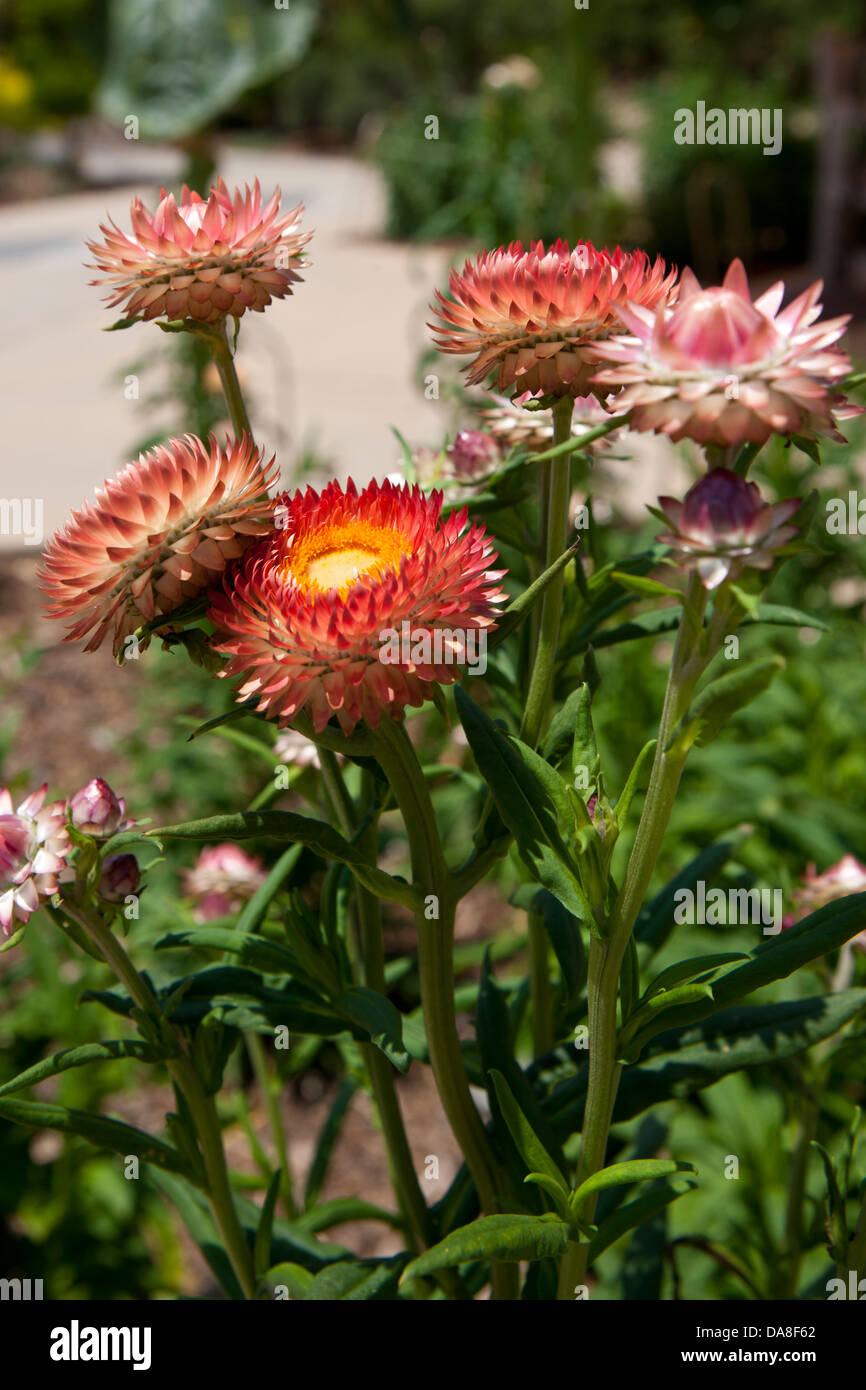 Strawflowers stock photos strawflowers stock images alamy straw flower xerochrysum bracteatum the huntington library art collection and botanical mightylinksfo