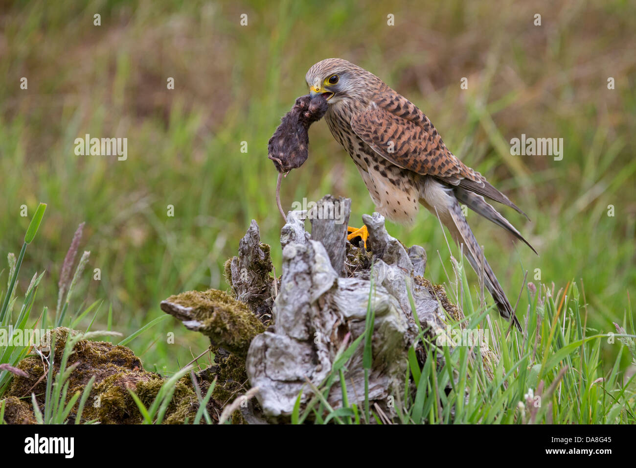 Female Kestrel with mouse as prey - Stock Image