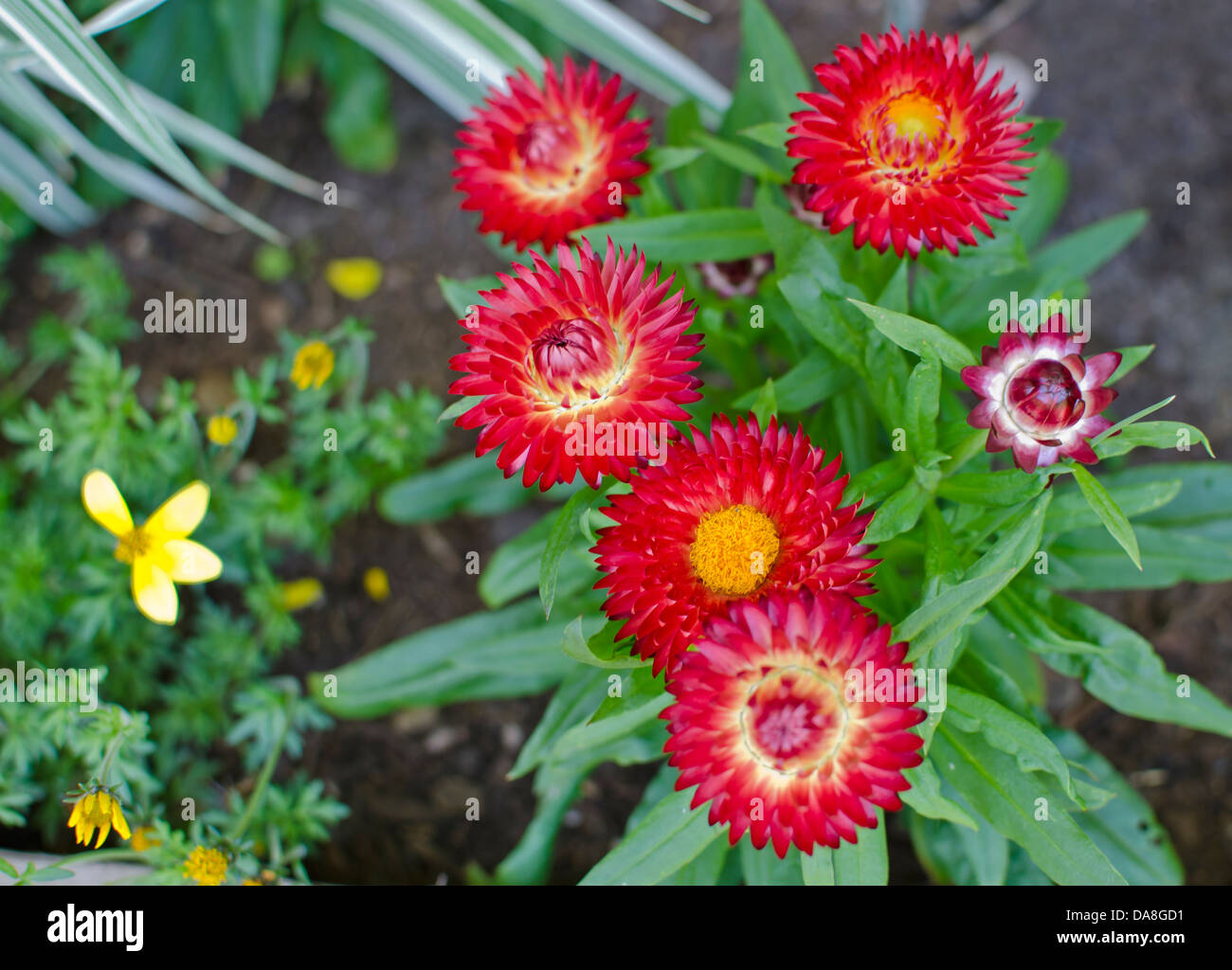 Vibrant Red And Orange Strawflowers In The Garden Also Called Straw