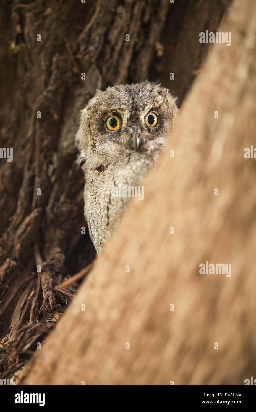 Juvenile European Scops Owl (Otus scops), Also Eurasian Scops Owl Israel, Spring - Stock Image