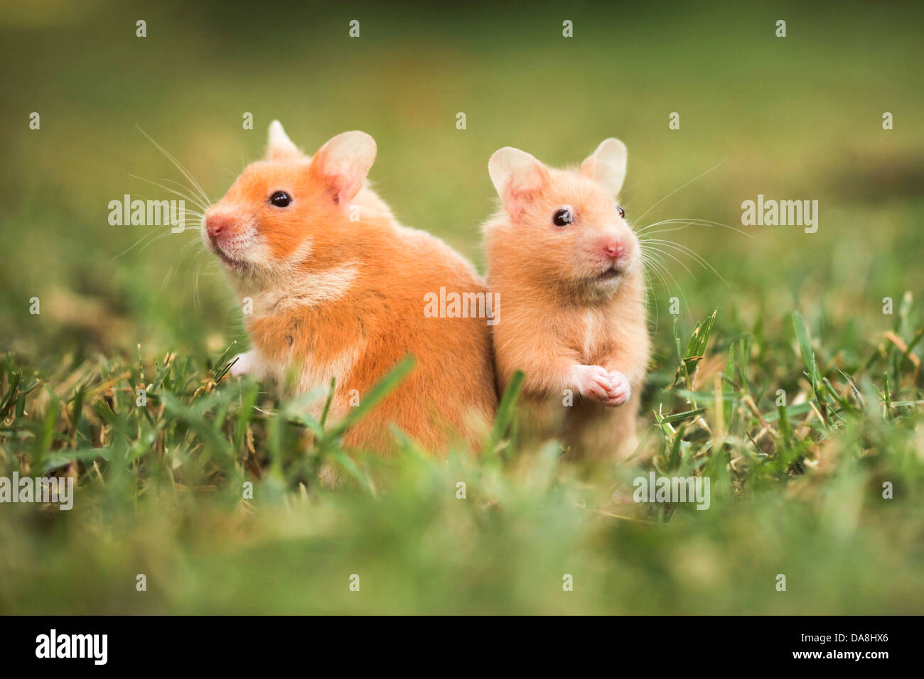golden hamster or Syrian hamster, (Mesocricetus auratus) on the lawn - Stock Image