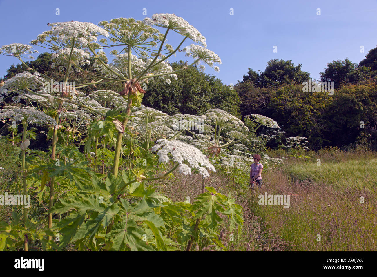 Giant Hogweed Heraculum mantegazziamum growing near the sea - Stock Image