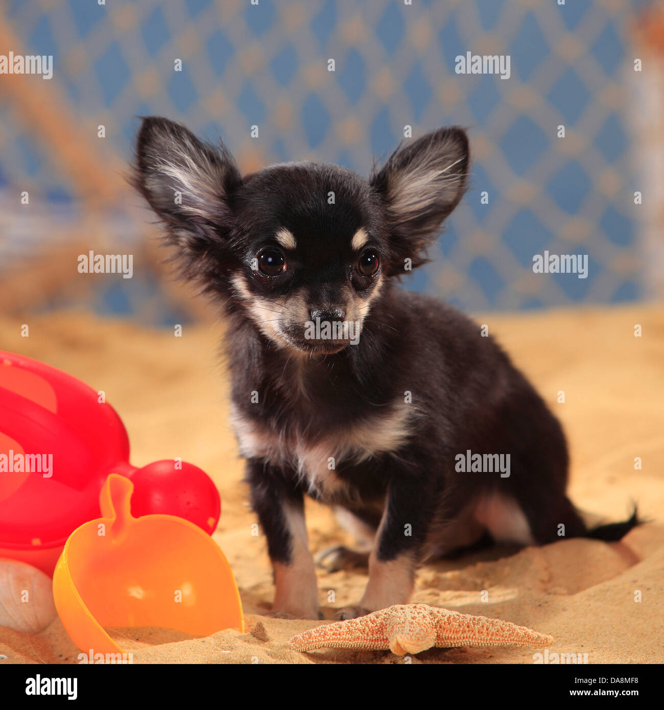 Chihuahua, longhaired, puppy, black-cream-white  Chihuahua, langhaarig, Welpe, schwarz-creme-weiss - Stock Image