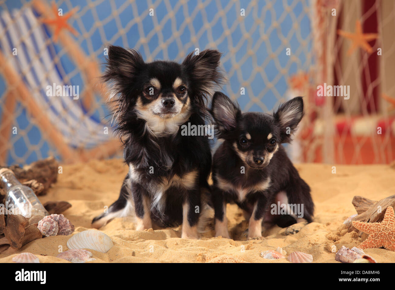 Chihuahua Longhaired With Puppy Black Cream White Chihuahua