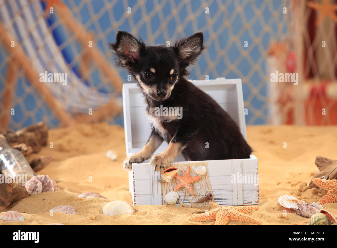 Chihuahua, longhaired, puppy, black-cream-white |Chihuahua, langhaarig, Welpe, schwarz-creme-weiss - Stock Image