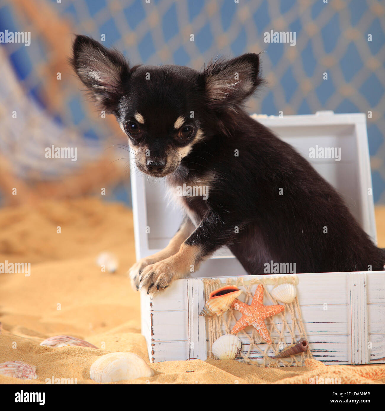 Chihuahua, longhaired, puppy, black-cream-white |Chihuahua, langhaarig, Welpe, schwarz-creme-weiss Stock Photo