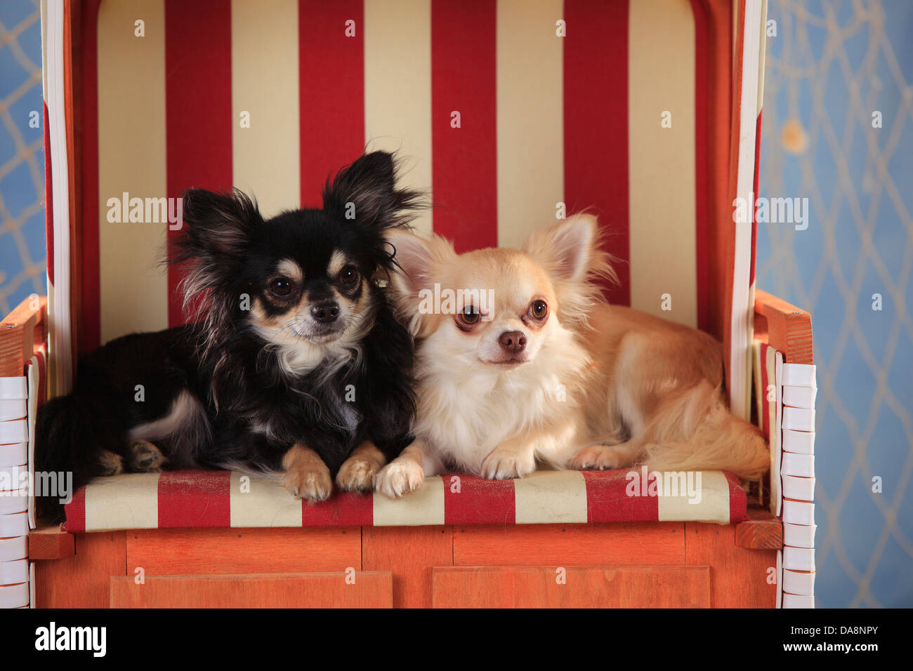 Chihuahuas, longhaired, isabell and black-cream-white  Chihuahuas, langhaarig, Rueden, schwarz-creme-weiss und isabell - Stock Image