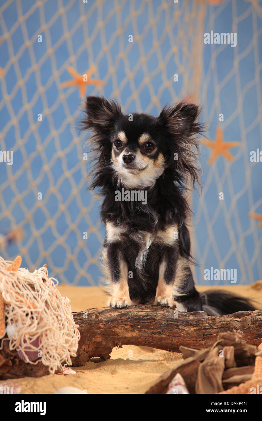Chihuahua, longhaired, black-cream-white |Chihuahua, langhaarig, Ruede, schwarz-creme-weiss - Stock Image