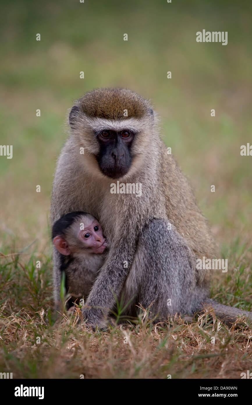 Dry nose monkeys, old world monkeys, Chlorocebus, Haplorhini, Catarrhini, Cercopithecidae, Cercopithecinae, Cercopithecini, - Stock Image