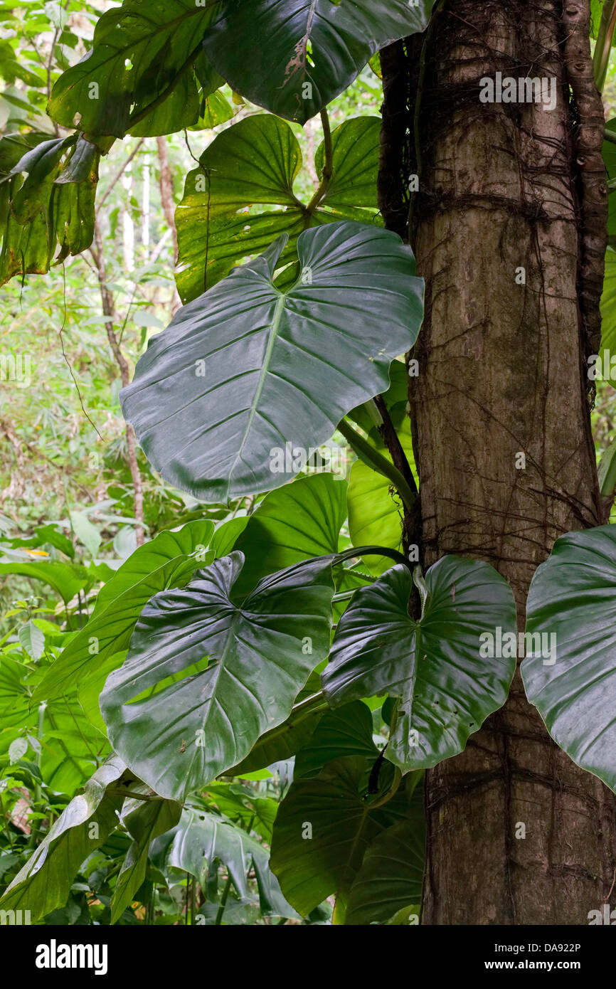Heart-Leaved Philodendron (Philodendron hederaceum), Costa Rica - Stock Image