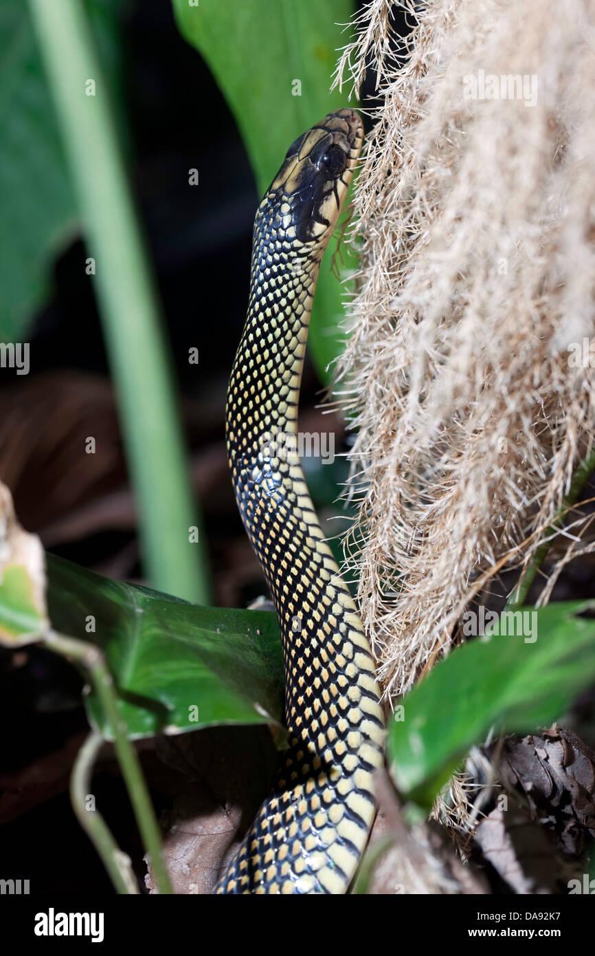 Speckled Racer (Drymobius margaritiferus), Costa Rica - Stock Image