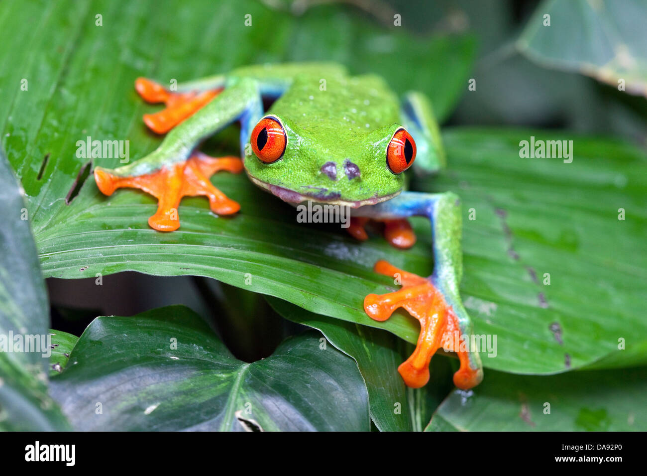 Red-eyed Tree Frog (Agalychnis callidryas), Costa Rica - Stock Image