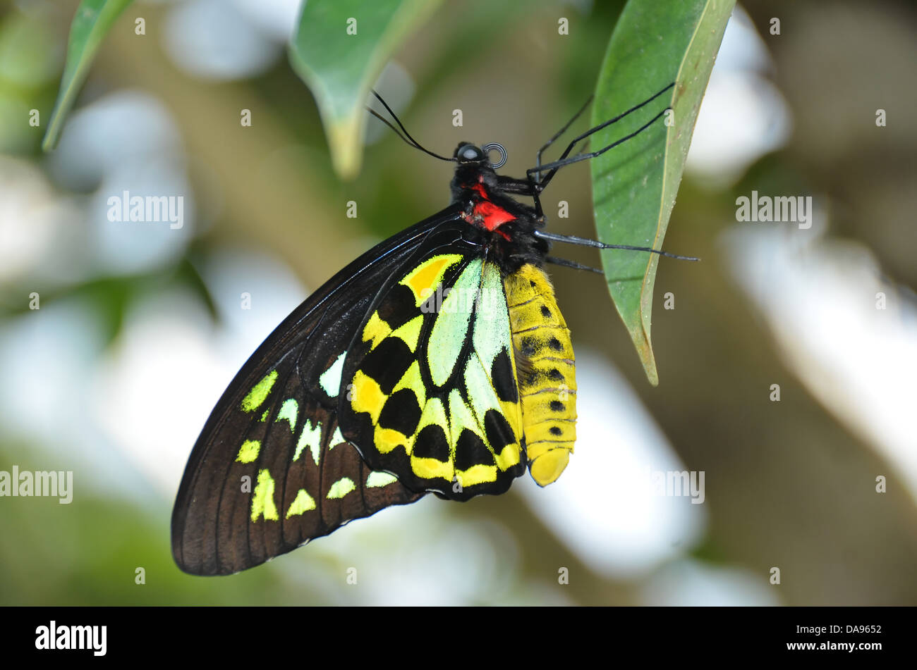 beautiful yellow green and black butterfly, the malachite (siproete stelenes) a member of the brush footed butterfly - Stock Image