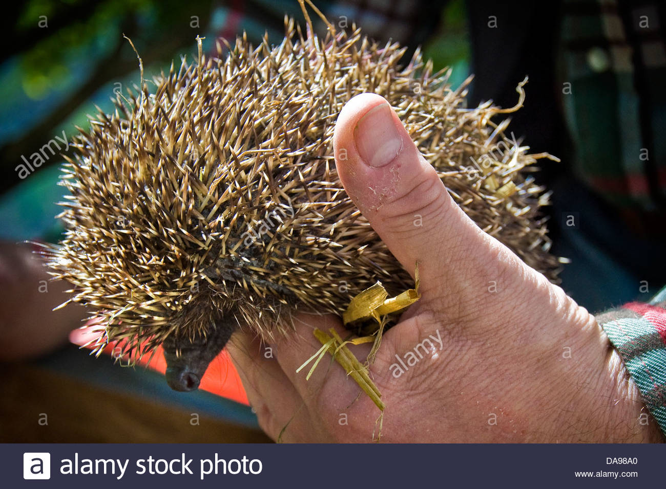 Switzerland,Canton Ticino,Maggia,Hedgehog Recovery Center - Stock Image