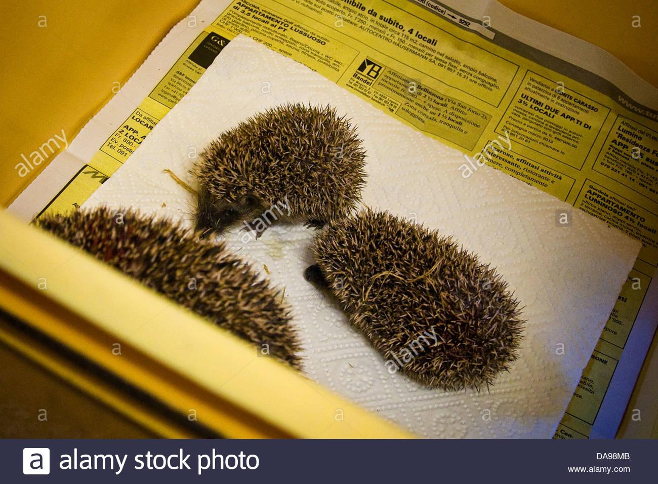 Switzerland,Canton Ticino,Maggia,Hedgehog Recovery Center - Stock Image