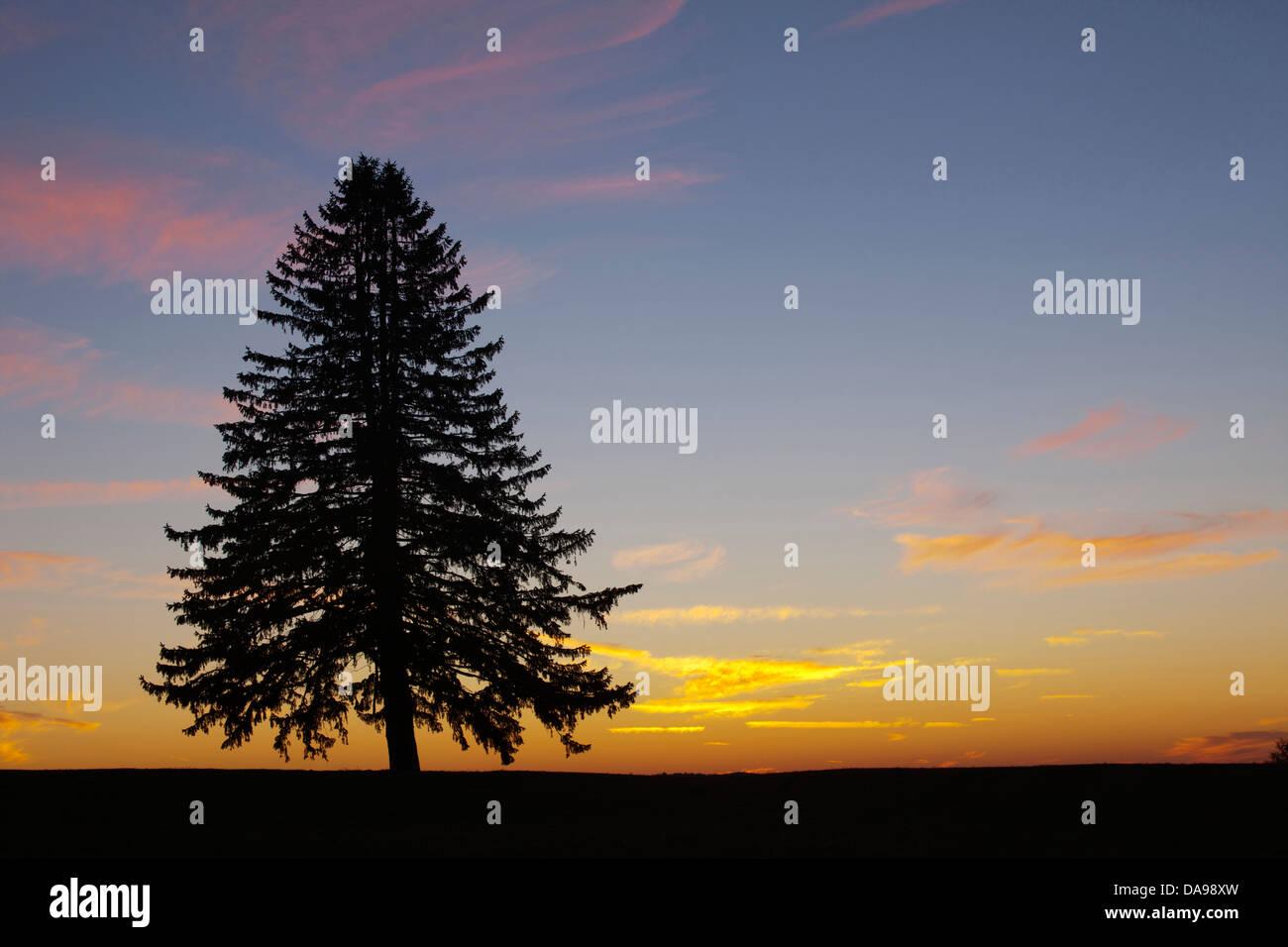 SINGLE LONE PINE FIR TREE SILHOUETTE - Stock Image