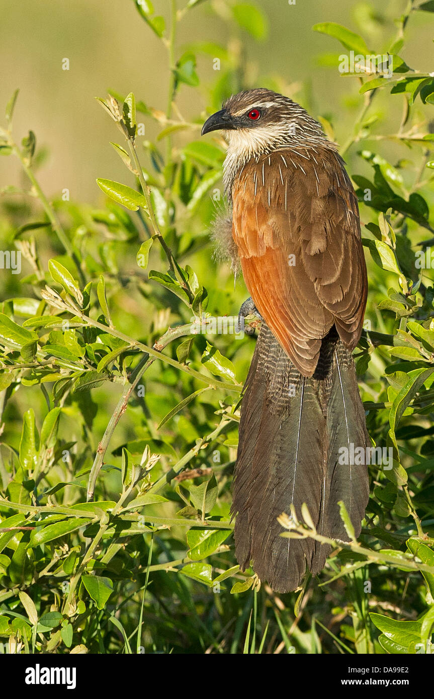 A Burchell's Coucal bird - Stock Image