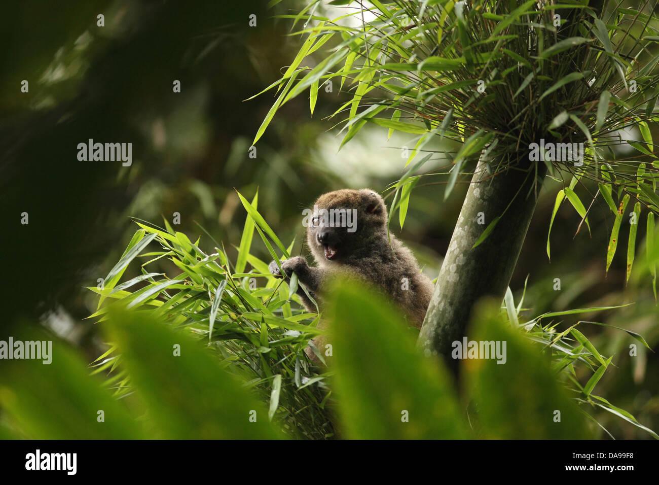 animal, mammal, lemur, Western gentle lemur, Sambirano lesser bamboo lemur, Western lesser bamboo lemur, Western - Stock Image