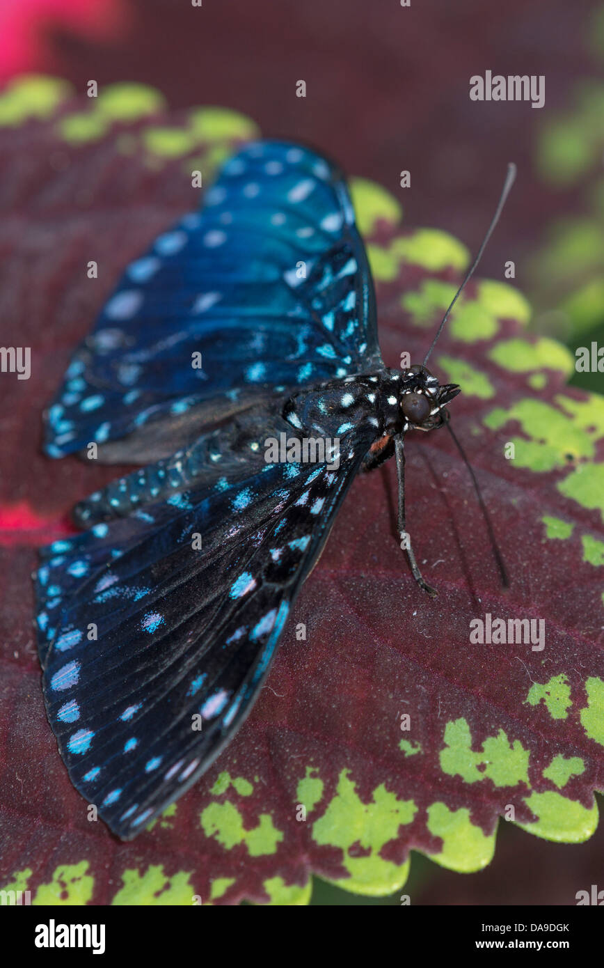 A Starry Cracker butterfly - Stock Image