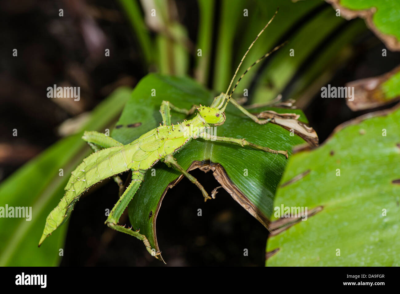 A Jungle Nymph insect Stock Photo