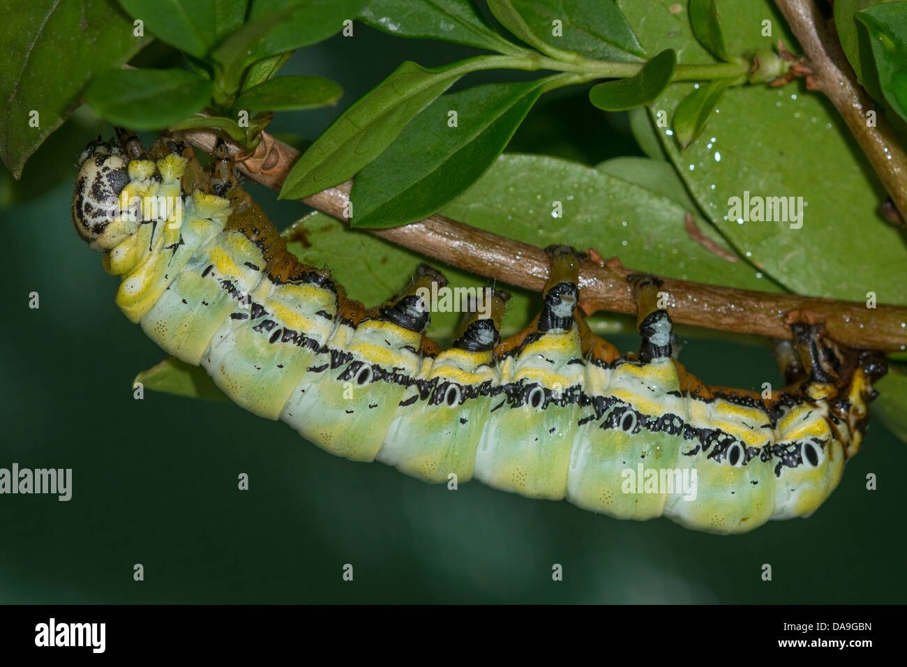 A larva of the Owl Moth - Stock Image