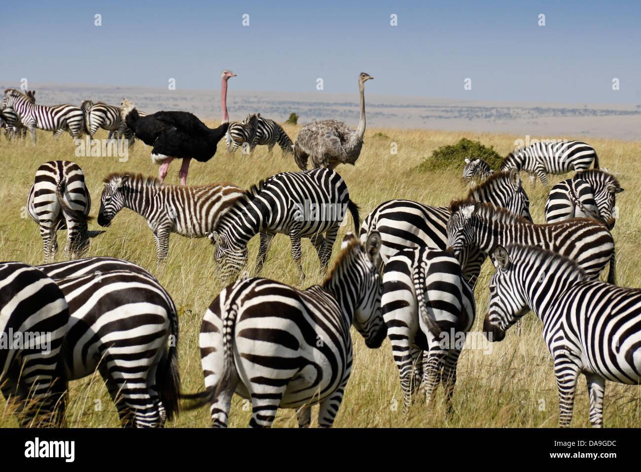 Burchell's zebras and Masai ostriches, Masai Mara, Kenya - Stock Image
