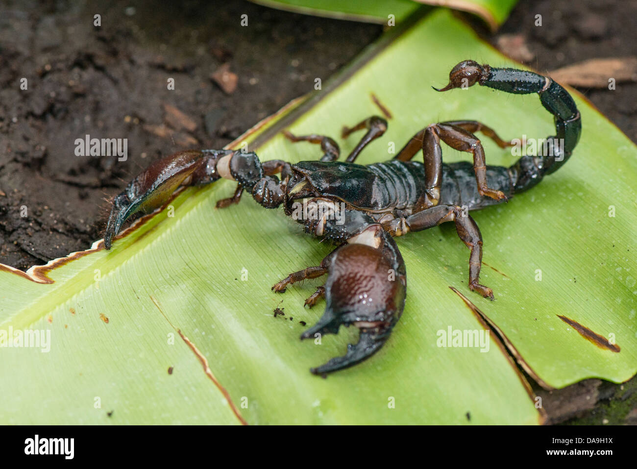 A Red Clawed scorpion - Stock Image