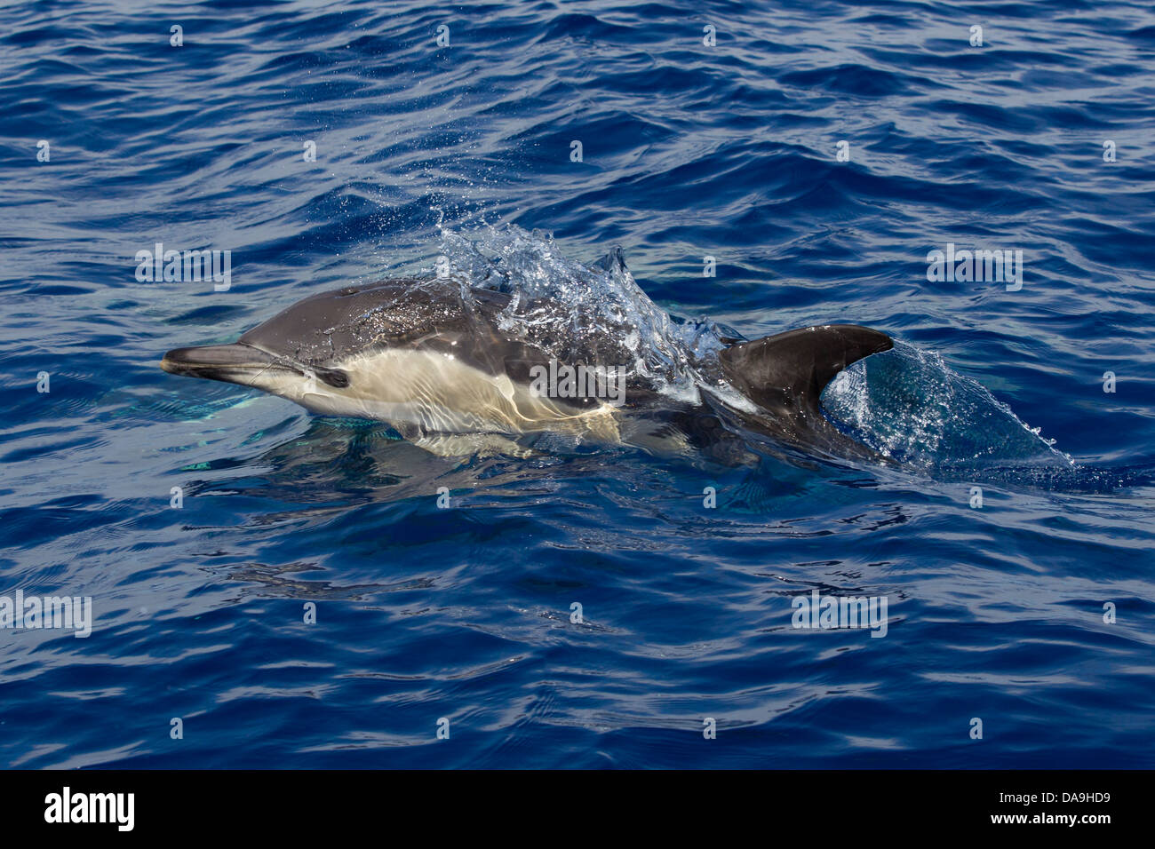 Gemeiner Delphin, Short-beaked Common Dolphin, Delphinus delphis, surfacing with eye visible, Lajes do Pico, Azores, - Stock Image
