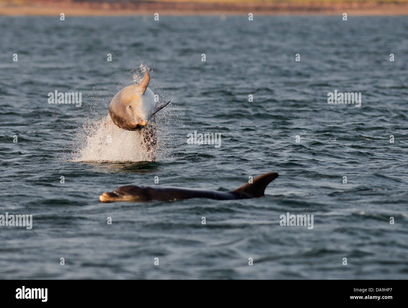 Bottlenose Dolphin leaping for Salmon at Chanonry Point, Scotland - Stock Image