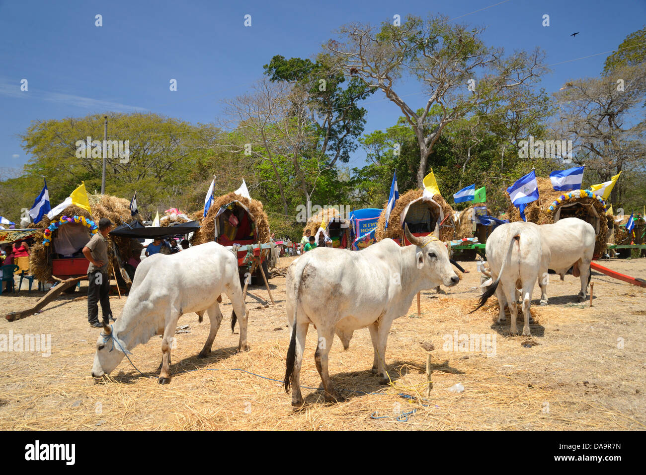 Central America, Nicaragua, Rivas, pilgrim, camp, procession, religion, religious, catholic, cow, cows - Stock Image