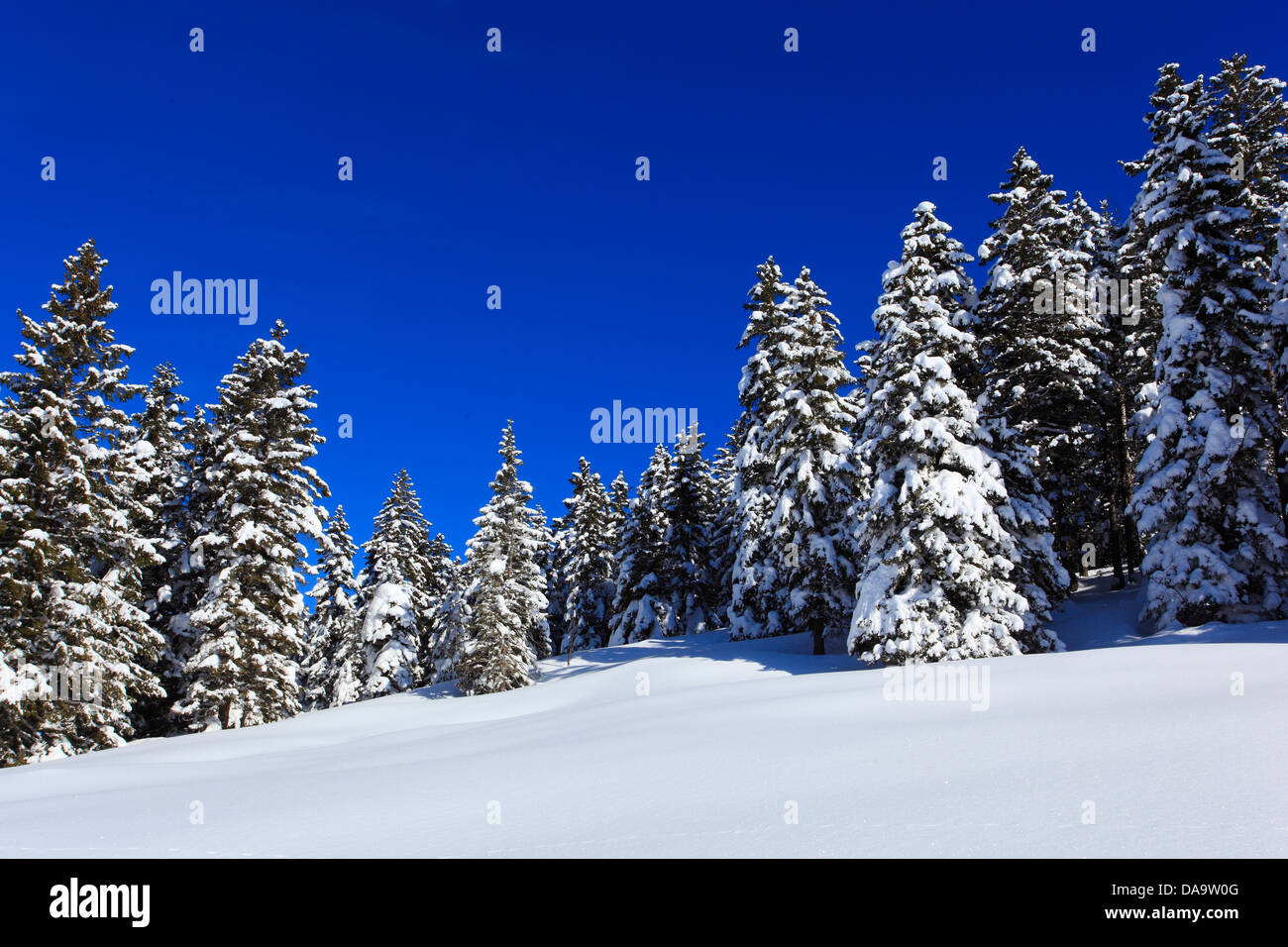 Alps, trees, spruce, spruces, sky, snow, Switzerland, Europe, sun, sunshine, fir, firs, wood, forest, winter, alpine, - Stock Image